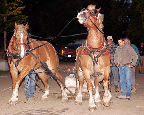 2007 Acton Ontario Fall Fair. Heavy horse pull competition - a set of big horses start their pull and struggle against the load