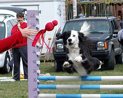 2007 Acton Ontario Fall Fair. A dog jumps during the canine team competition