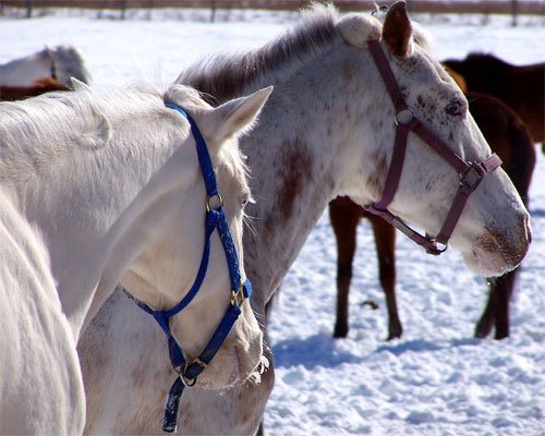 Horses on a farm near Milton, Ontario in the wintertime.